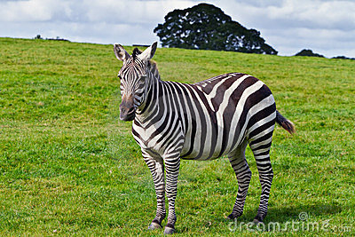 Zebra in the wildlife
