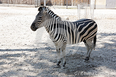 Zebra in zoo