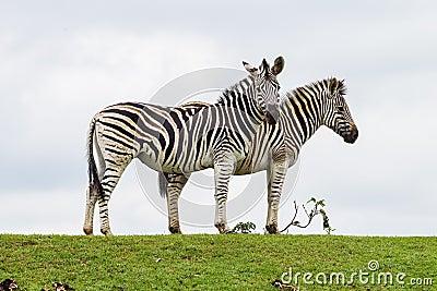 Zebras δύο περίγραμμα