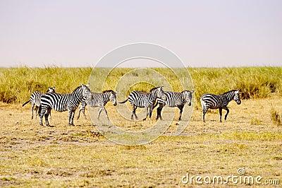 Zebras, Amboseli