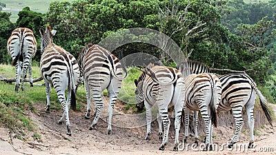 Zebras in Bewegung