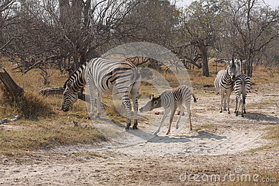 Zebras in the bush.