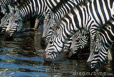 Zebras drinking water