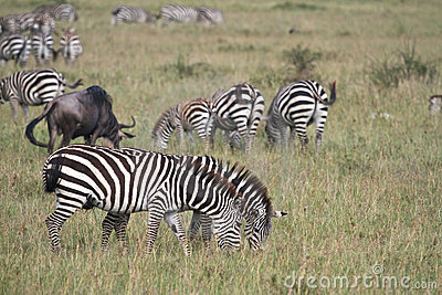 Zebras eating grass