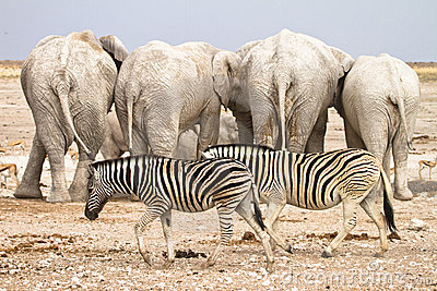 Zebras and elephants