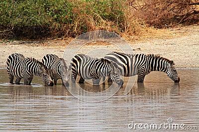 Zebras (Equus quagga) in watering hole