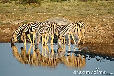 Zebras in Etosha NP, Namibia