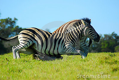 Zebras fighting in game park