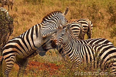 Zebras fighting in Nairobi National Park,Kenya