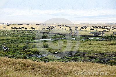 Zebras, Gnus, Hippos, Birds on Ngorongoro Crater