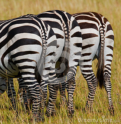 Free Zebras In Savanna. Kenya. Tanzania. National Park. Serengeti. Maasai Mara. Royalty Free Stock Photography - 78915807