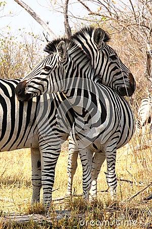 Free Zebras In The Bush. Stock Image - 26462571