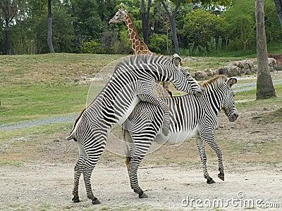 Zebras mating