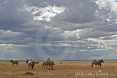 Zebras on Plains