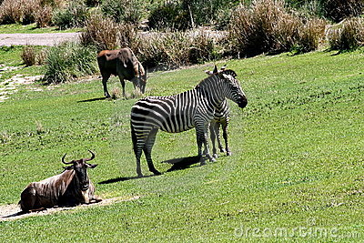 Zebras selvagens