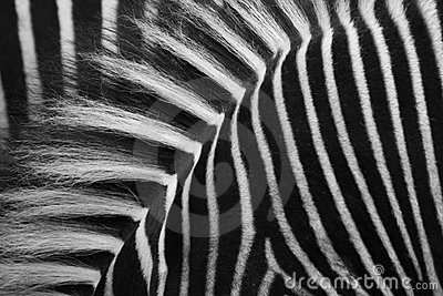 Zebras strips