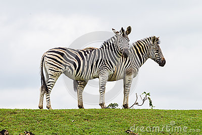 Zebras Two Outline