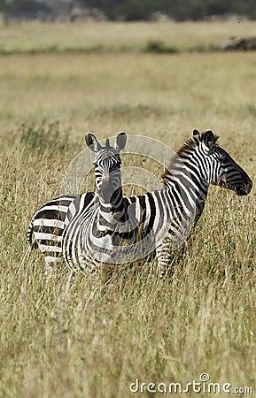 Zebras van Burchell