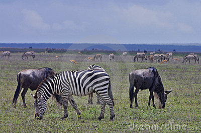Zebras and Wildebeest grazing on Serengeti plains