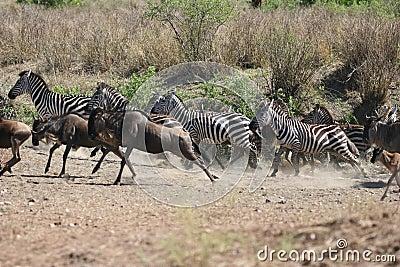Zebras and Wildebeests running