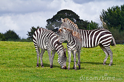 Zebras in the wildlife park