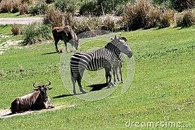 Zebre selvagge