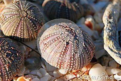 Zeeëgels