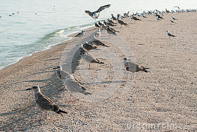 Zeemeeuwen op het zand