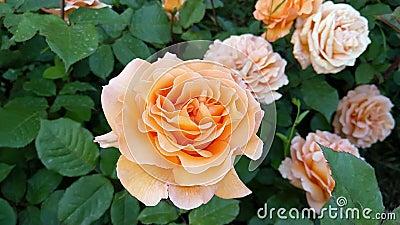Zeitlupegesamtlänge von orange Rosen
