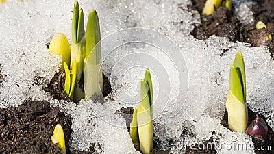 Zeitraffer des schneeschmelzenden Schmelzes stock video footage