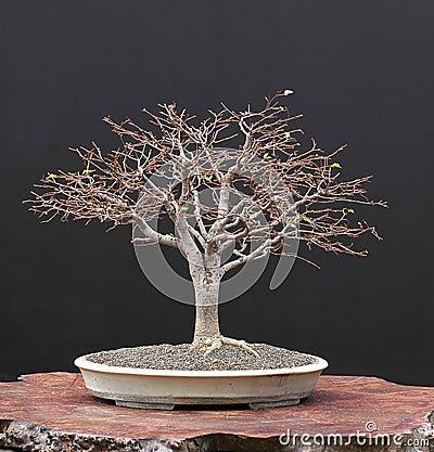 Zelkova bonsai in winter