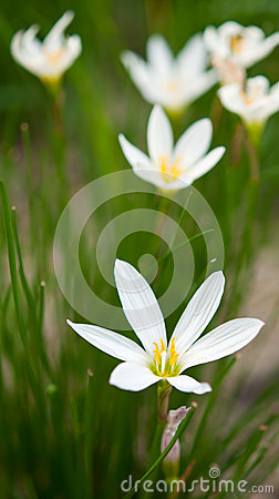 Zephyranthes candida Herb