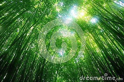 Zielony bambusa drzewo.