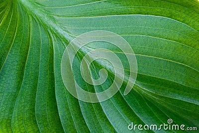 Zielony tło liść