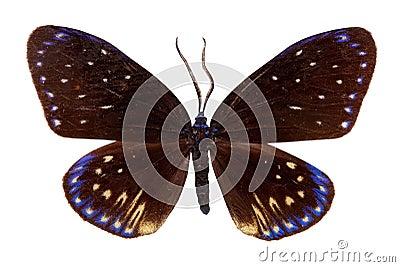 Zigzag Flat butterfly