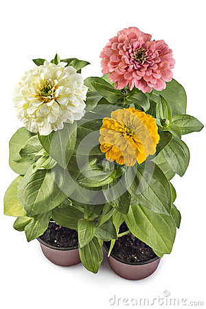 Free Zinnia Elegans Royalty Free Stock Image - 95832166