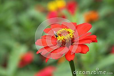 Zinnia flower color orange in garden