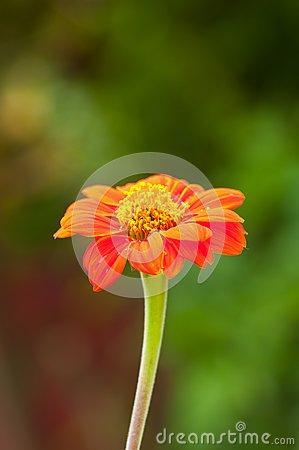 zinnia flower on green background