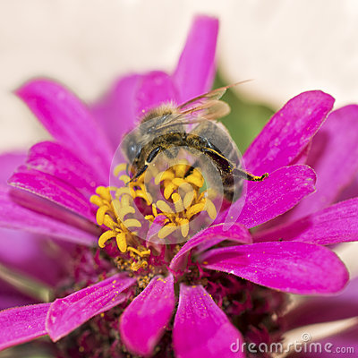 Free Zinnia Flower With Honey Bee Gathering Pollen Royalty Free Stock Image - 44024206