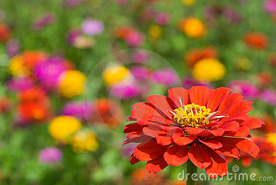 Zinnia Flower on Zinnia Flowers Royalty Free Stock Photo   Image  17397475