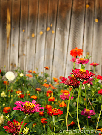 zinnia flowers against wooden background