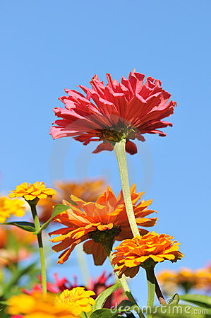 Zinnia flowers in a garden bed