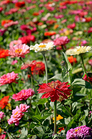 Zinnia-Garten