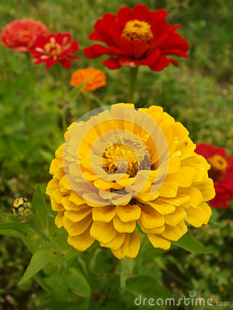 Zinnia graceful