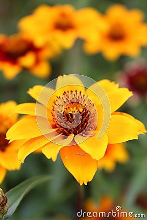 Free Zinnia Persian Carpet Bloom Stock Photography - 67767502