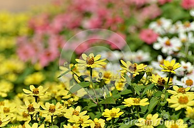Zinnia Zahara Yellow.