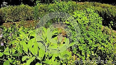 Ziołowy ogród z roślinami zbiory wideo