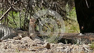 Zmielona wiewiórka na ostrzeżeniu dla niebezpieczeństwa zbiory wideo