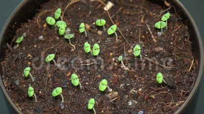 Zoet Basil Sprouts Growing in Bloempot tuiniert thuis stock video