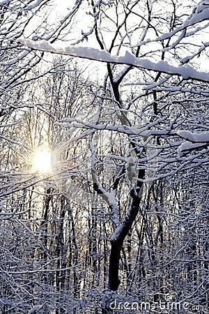 Zon glanzende throug sneeuw behandelde bomen